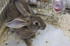 Szary królik Zdjęcie Royalty Free