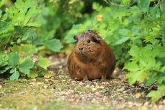Szary królik doświadczalny Fotografia Stock