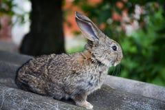 Szary królik, płytka głębia pole, miękkiego ostrość futerkowego królika widoku makro- fotografia Obrazy Stock