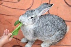 Szary królik Obraz Royalty Free