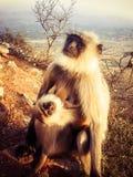 Szary Langur i dziecko Zdjęcie Stock