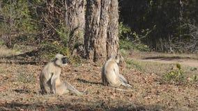 Szary Langur także znać jako Hanuman Langur w parku narodowym w India zdjęcie wideo