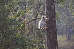Szary langur wspina się drzewa fotografia royalty free