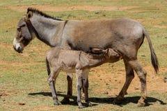 Szary mały dziecko osioł je mleko od jego matki Fotografia Stock