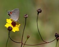 Szary modraszek Z Coreopsis kwiatem Obraz Royalty Free