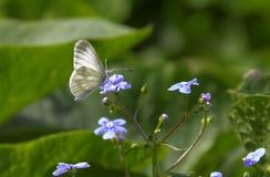 Szary Motyli obsiadanie na małej purpurze kwitnie zdjęcia stock
