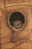 Szary mysz lemur zdjęcie stock