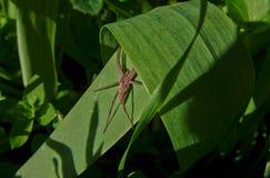 Szary pająk zdjęcie stock