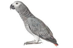 Szary papuzi Jaco na białym tle Zdjęcie Stock