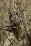 Szary pasikonik na pszenicznym polu obrazy stock