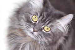 Szary Perski kot zdjęcie stock