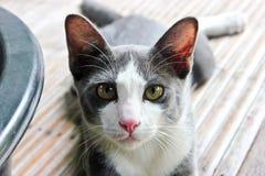 Szary piękny dorosły kot Zdjęcie Stock