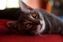Szary piękny kot z złotymi oczami fotografia royalty free