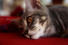 Szary piękny kot z złotymi oczami obrazy royalty free