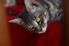 Szary piękny kot z złotymi oczami fotografia stock