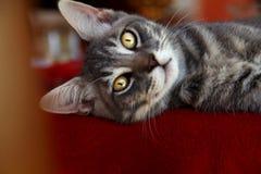 Szary piękny kot z złotymi oczami zdjęcie stock