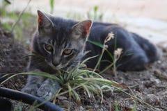 Szary piękny kot z złotymi oczami bawić się w ogródzie obraz royalty free