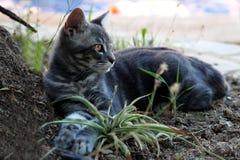 Szary piękny kot z złotymi oczami bawić się w ogródzie zdjęcia royalty free
