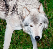 szary przyglądający wilk ty fotografia stock