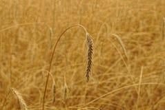 Szary pszeniczny kolec na polu na letnim dniu Obrazy Royalty Free