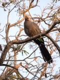 Szary ptak, Corythaixoides concolor, jest całkiem pospolity, Botswana zdjęcia royalty free