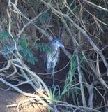 Szary ptak gnieżdżący się w muśnięciu zdjęcia stock