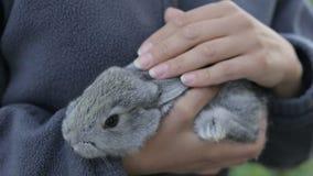 Szary puszysty królik w rękach dziewczyna zbiory