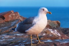 Szary seagull Fotografia Stock