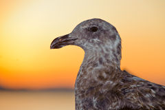 Szary seagull ogląda ja Fotografia Stock