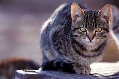 Szary Syberyjski kot plenerowy Obraz Stock