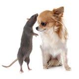 Szary szczur i chihuahua Zdjęcia Stock
