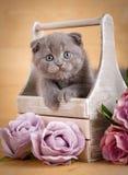 Szary Szkocki fałd figlarki portret Zestawów spojrzenia z swój pudełka Kwiatu wystrój Obrazy Royalty Free