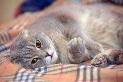 Szary Szkocki kłapouchy kot Fotografia Royalty Free