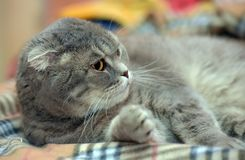 Szary Szkocki kłapouchy kot Obraz Royalty Free