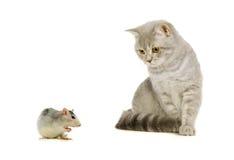 Szary szkocki kot i mysz na bielu Zdjęcia Royalty Free