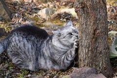 Szary tabby kota lying on the beach ostrzy pazury na drzewie Obrazy Stock