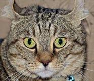 Szary Tabby kota wyrażenie Obraz Royalty Free