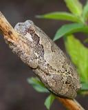 Szary Treefrog lub Drzewna żaba, Hyla versicolor zdjęcia stock