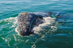 Szary wieloryb, Meksyk (Eschrichtius robustus) obrazy stock