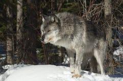 szary wilk zdjęcie stock