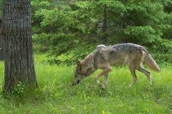 Szary wilk wącha w zielonej trawie zdjęcia stock