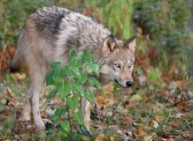Szary wilk w jesieni położeniu Zdjęcie Stock