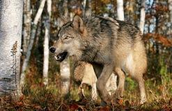Szary wilk w jesieni położeniu Zdjęcia Stock