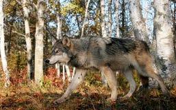 Szary wilk w jesieni położeniu Obrazy Stock
