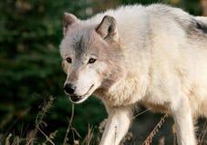Szary wilk w jesieni położeniu Fotografia Royalty Free