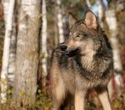 Szary wilk w jesieni położeniu Zdjęcia Royalty Free
