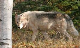 Szary wilk w jesieni położeniu Obrazy Royalty Free