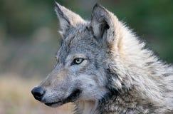 Szary wilk w jesieni położeniu Obraz Royalty Free