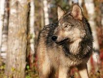 Szary wilk w jesieni położeniu Zdjęcie Royalty Free