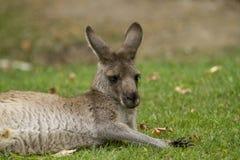 szary wschodniego kangur Zdjęcie Royalty Free